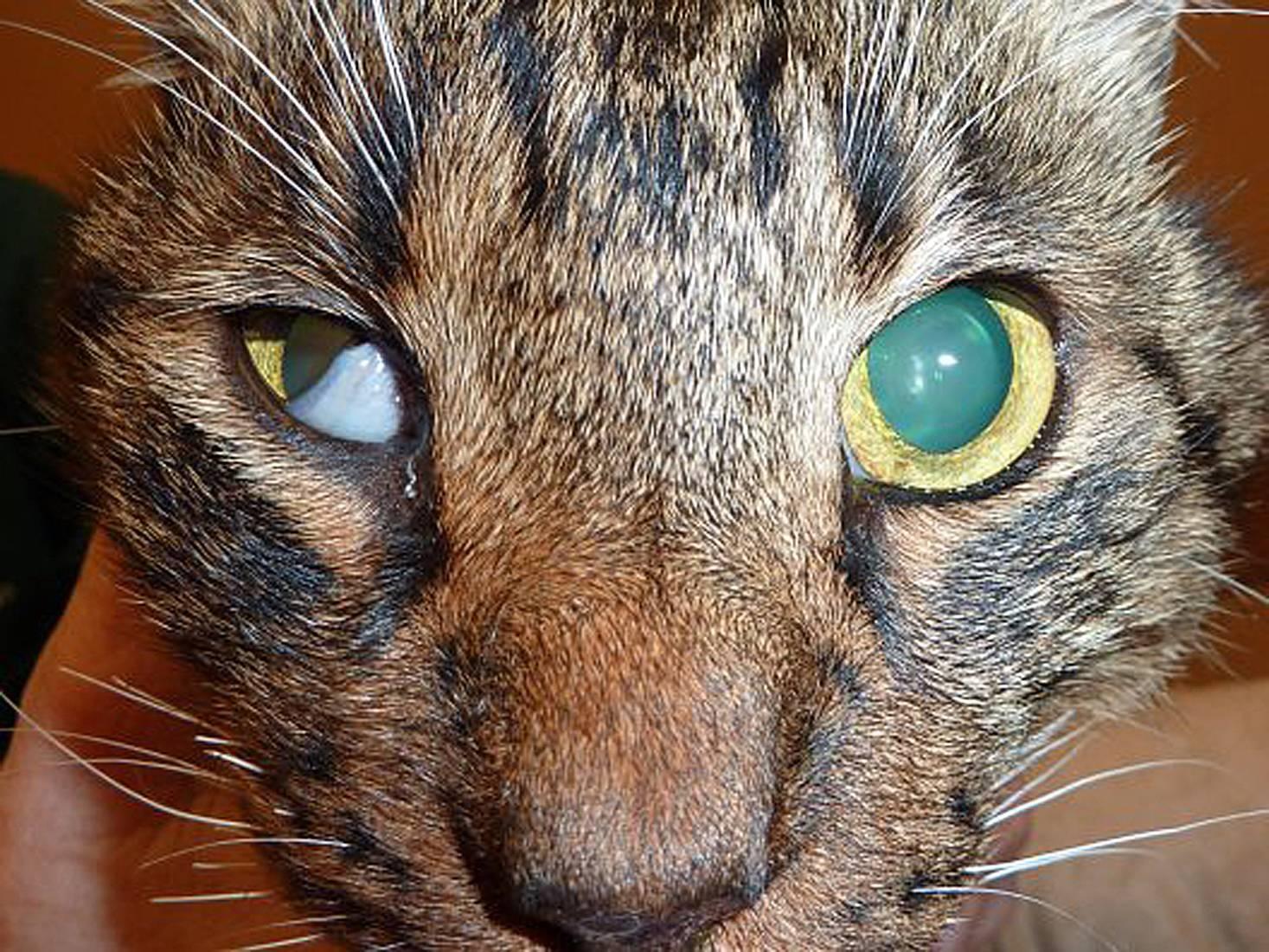 Третье веко у кошек: причины, лечение дома, препараты
