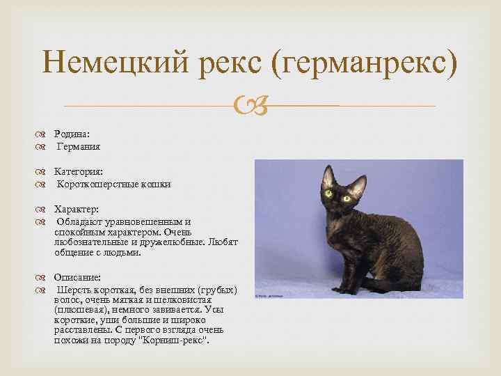 Топ-10 короткошерстных пород кошек с фотографиями и названиями