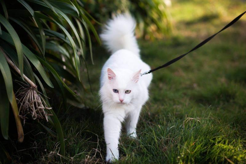 Прогулки с кошкой на природе