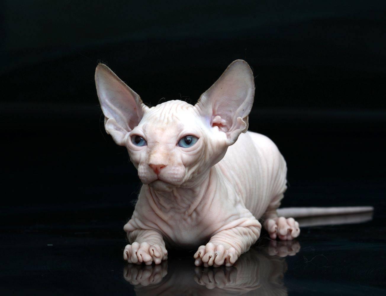 Кошка эльф: фото, описание породы, характер, содержание
