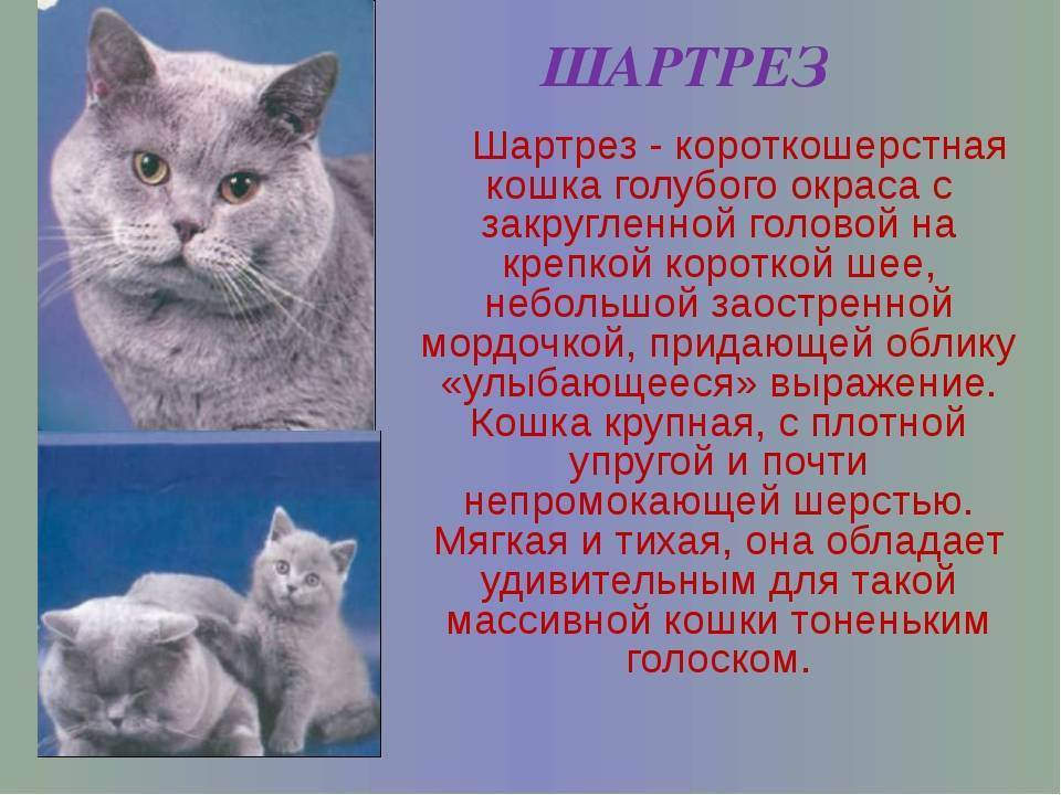 Бразильская короткошерстная кошка: описание породы, уход