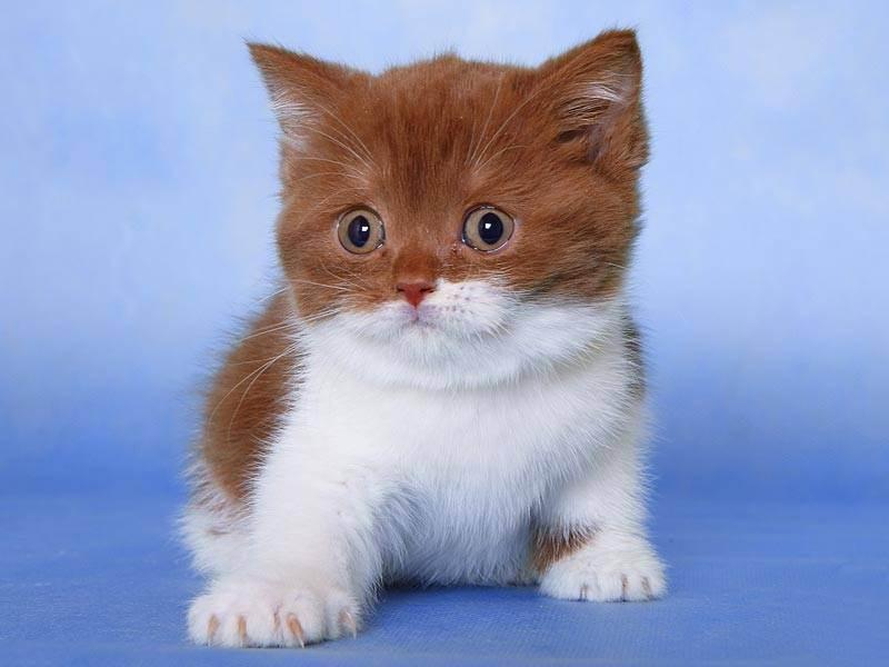 Каким бывает окрас шерсти британских котов и кошек