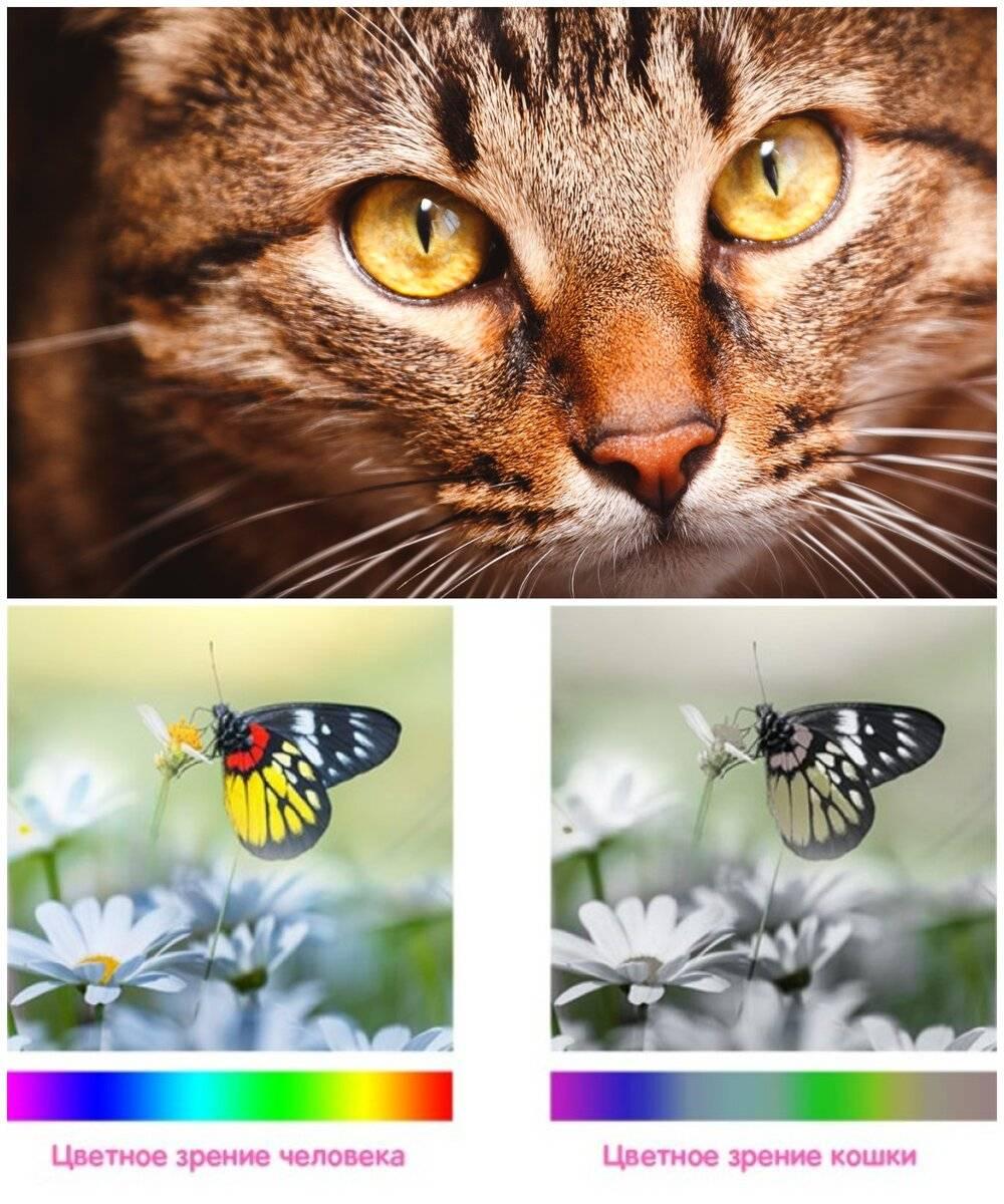 Желтые глаза у кошки, зеленые, карие: какого цвета бывают глазки у котов?