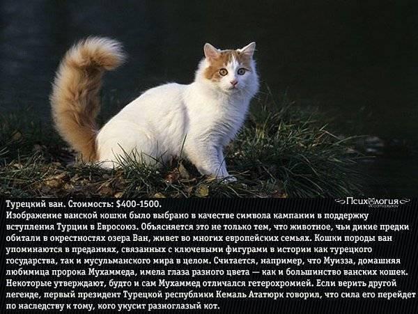 Особенности темперамента и поведения кошек породы турецкий ван, уход за ними