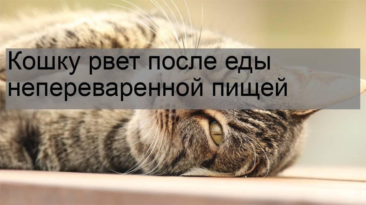 Кота рвет после еды непереваренной пищей: почему, что делать