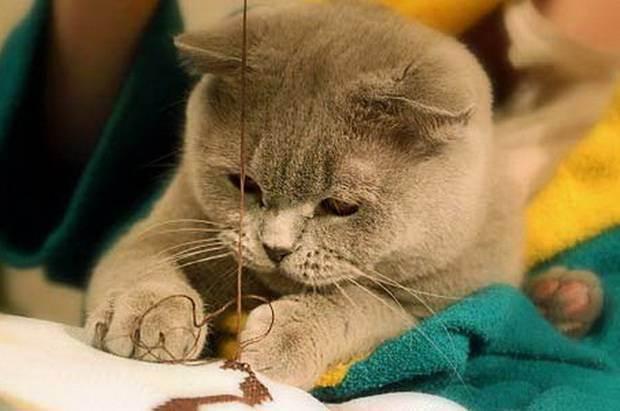 Стерилизация и кастрация британских кошек и котов: в каком возрасте кастрируют мальчиков-британцев? когда стерилизуют кошек? чем кормить их после процедуры?