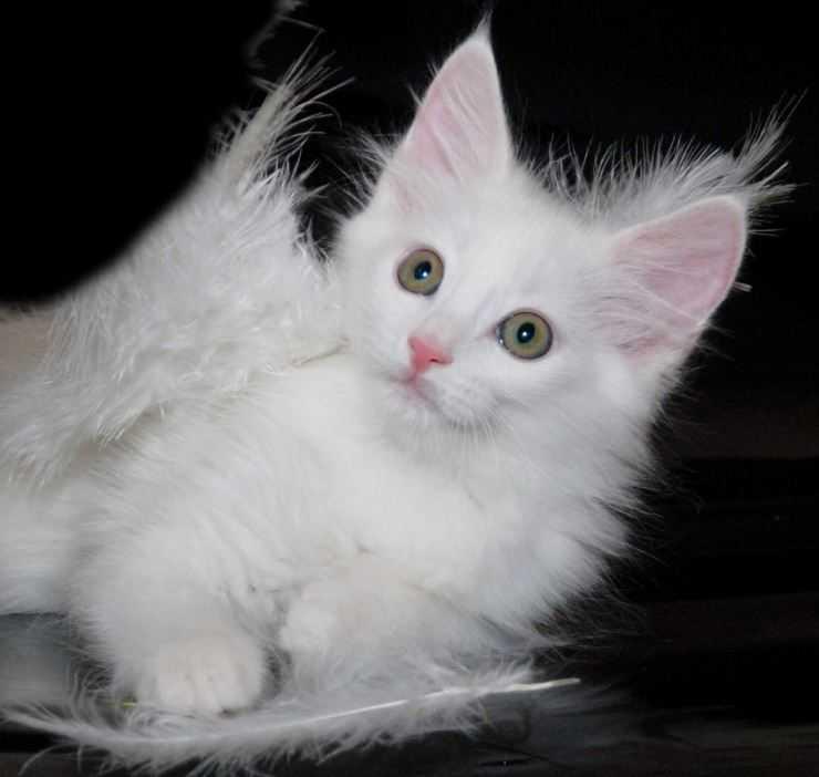 Ангорская кошка: аристократка с характером