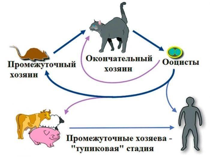 Можно ли заразиться токсоплазмозом от кошки, собаки, человека?