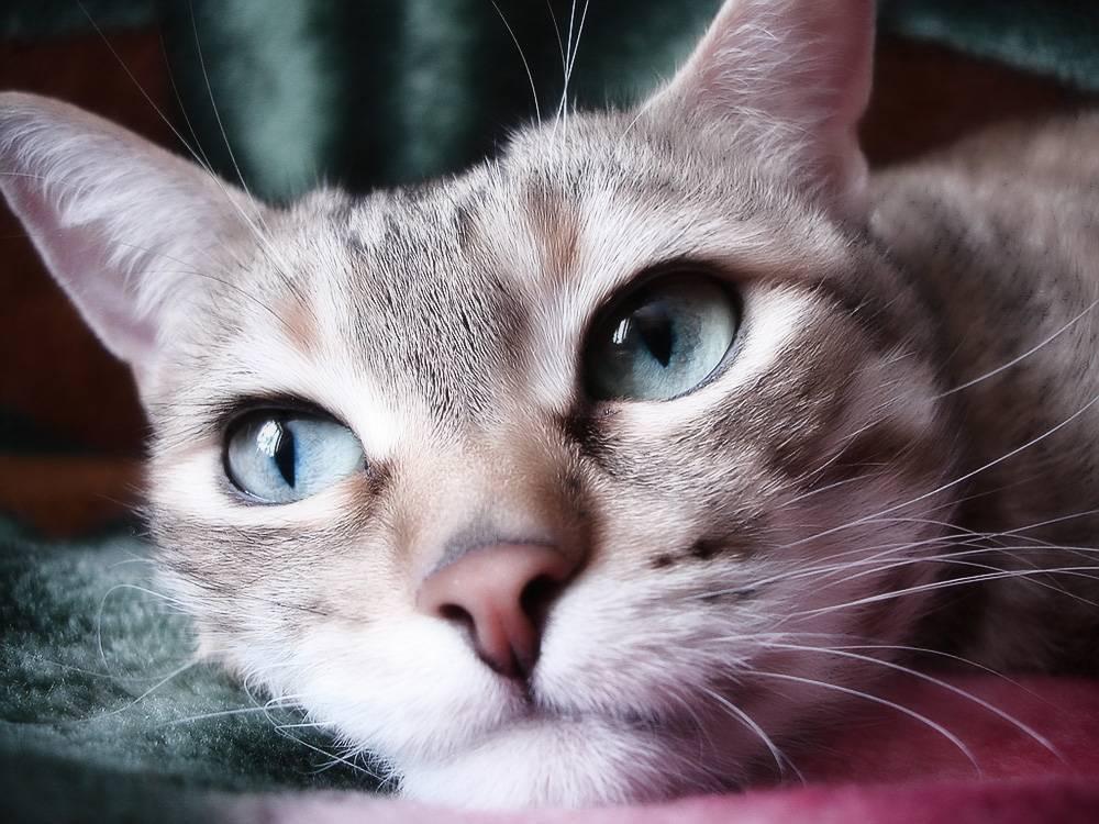 Инсульт у кота: признаки, симптомы, лечение