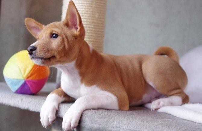 Басенджи: описание африканской породы собак, советы по уходу и содержанию