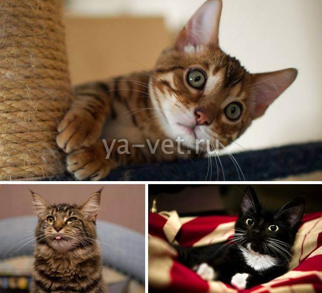 Рвота с кровью у кошки причины и лечение