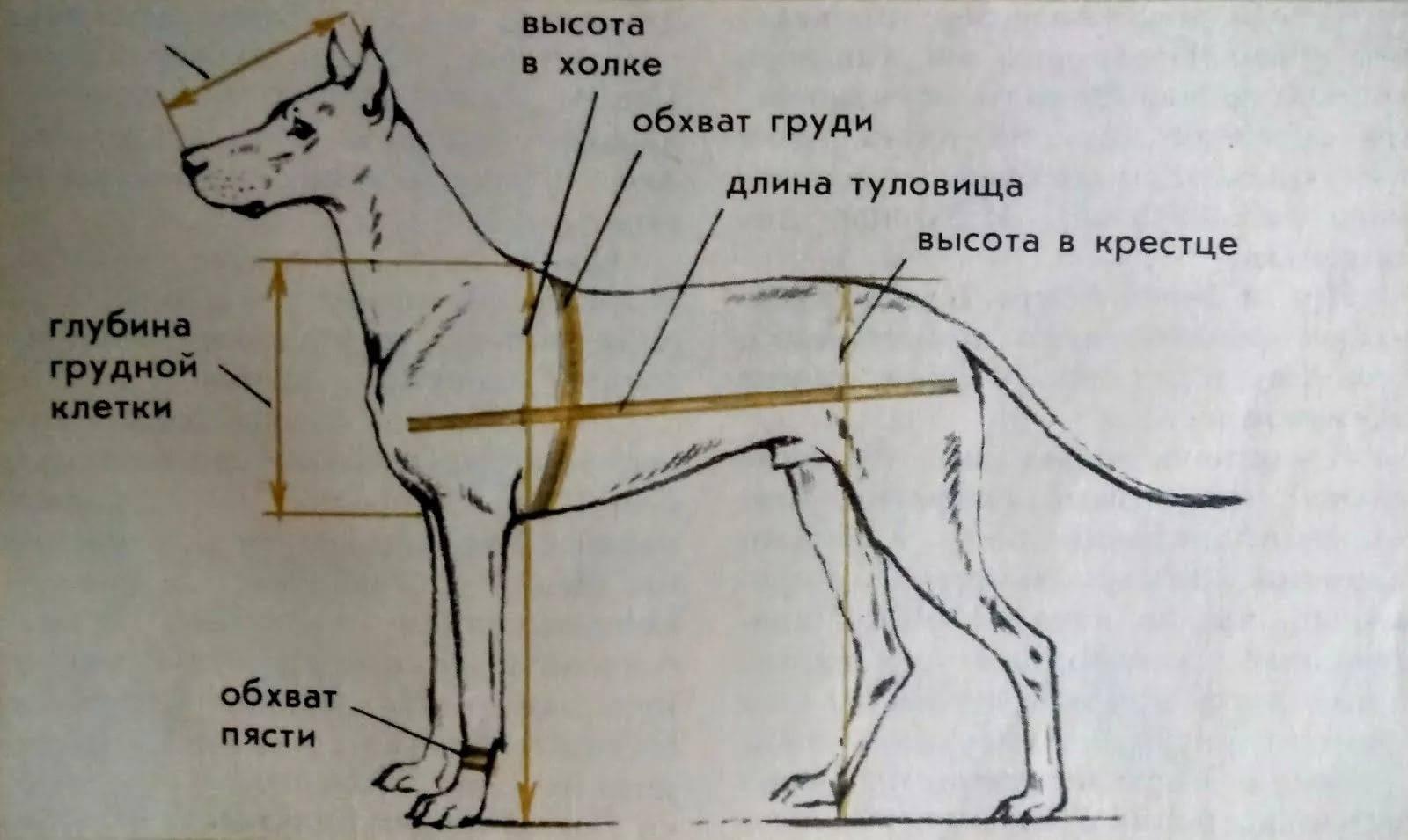 Щенок немецкой овчарки в 2 месяца: фото и видео, чем кормить, вес и уход.