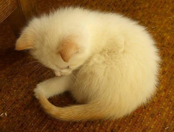 Почему кошка гоняется за хвостом?