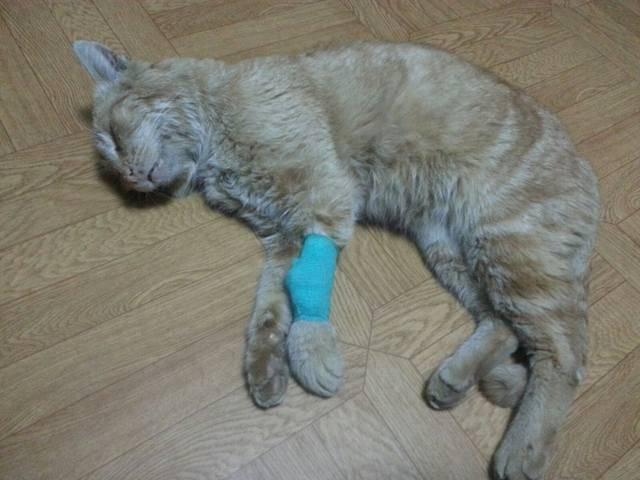 У кота опухла лапа: причины и что делать | кот и кошка