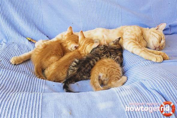 Через сколько кошка может забеременеть после родов