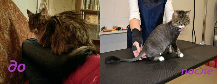 Стрижка кошек на дому и ее особенности