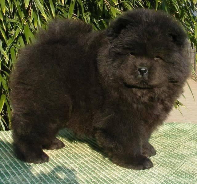Собаки похожие на медведей маленькие. какие есть породы собак, похожих на медвежонка. как же сделать выбор