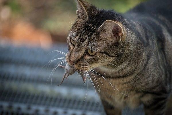 Кошка попробовала крысиный яд. что делать?