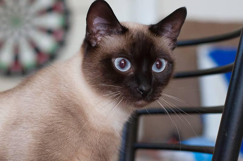 Тайская кошка – голубоглазая восточная красотка с сиамским окрасом