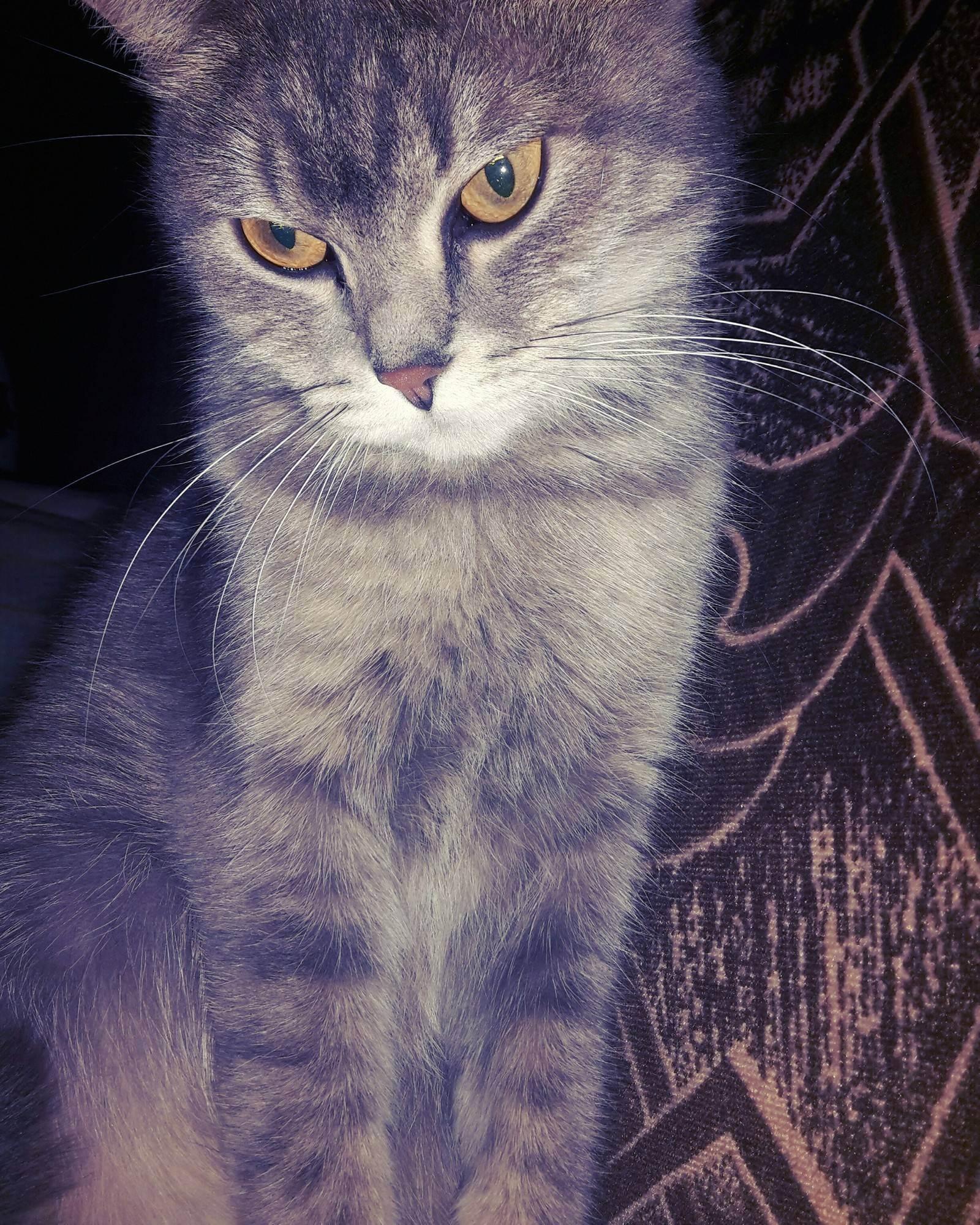 Хвост шотландской кошки — барометр здоровья.