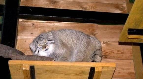 Кто такой кот-манул икого онобманул, откуда взялся и чем интересен