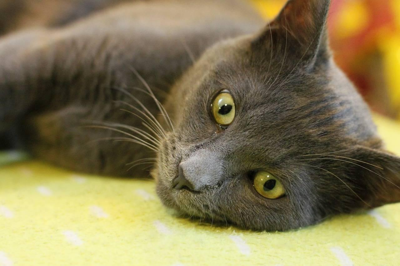 Лечение у кошек панкреатита в домашних условиях: симптомы