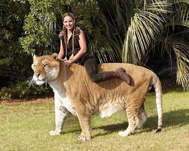 Самые большие породы кошек: домашние, дикие и гибриды