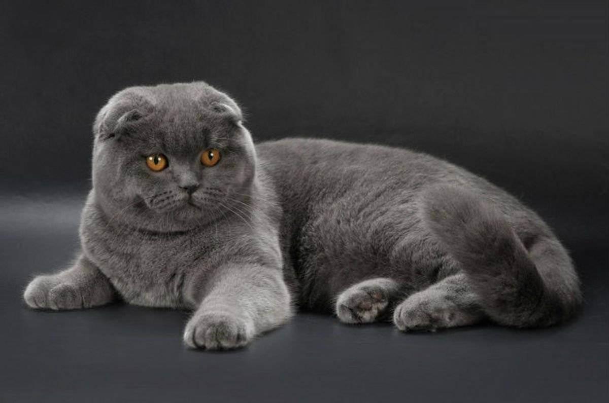 Шотландская вислоухая кошка - 100 фото и видео описание популярной породы
