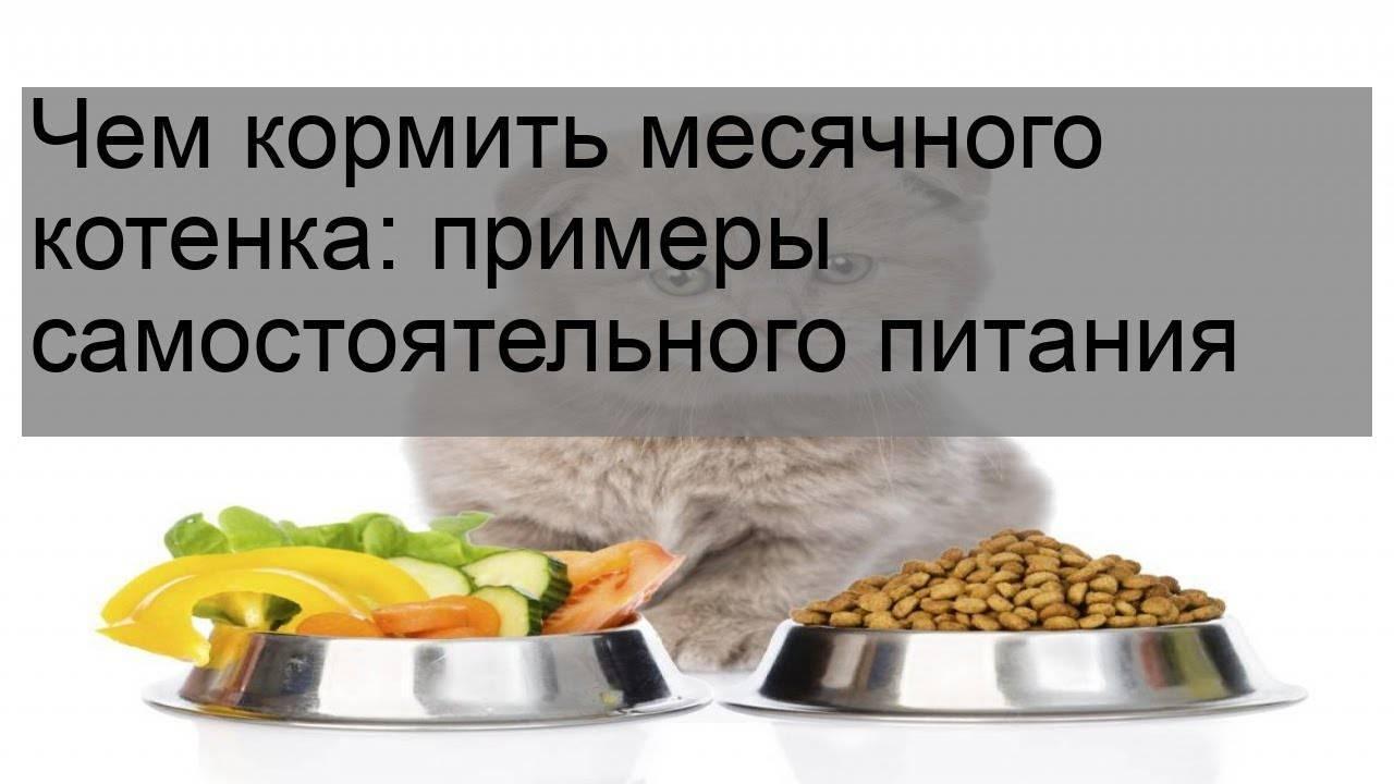 Чем кормить котят в 1 месяц — особенности питания малышей