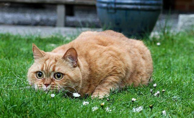 Содержание и уход за британской кошкой характер и воспитание