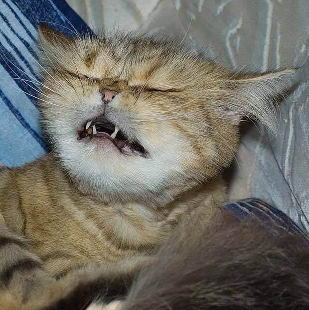Котенок чихает: причины, почему может чихать маленький котёнок дома и на улице. котенок чихает, что делать, чем лечить?