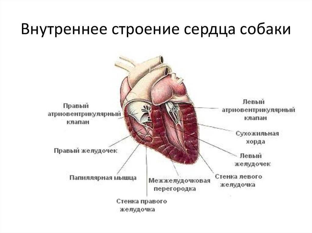 Анатомия кошки: скелет, мозг, строение внутренних, половых органов