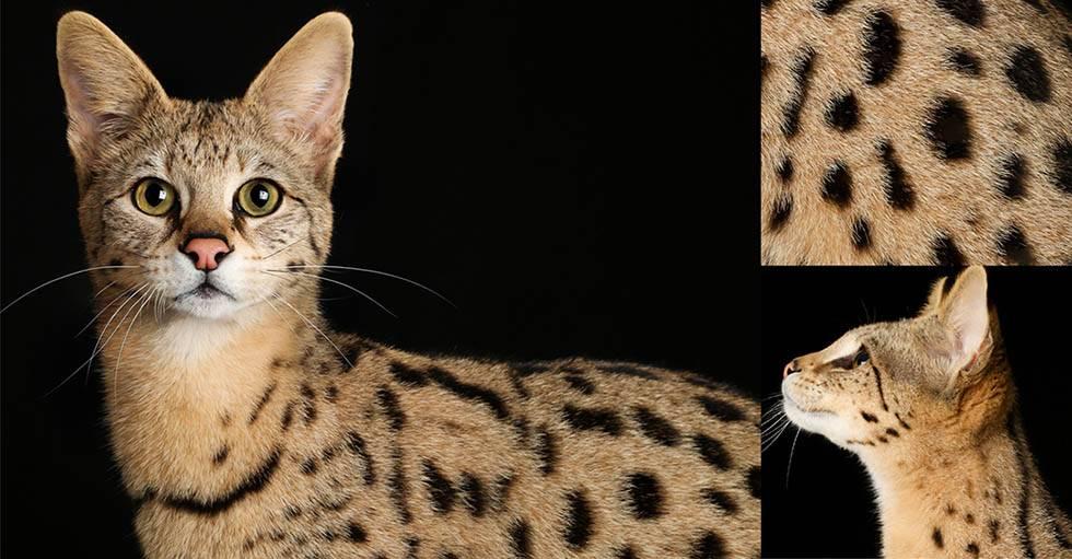 Кошки сафари: описание породы, характер, советы по содержанию и уходу, фото