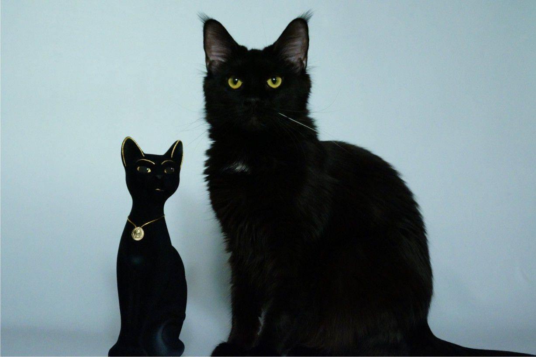 Породы черных кошек с фотографиями и названиями