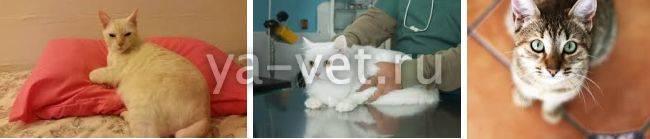 У кота отказали почки – симптомы патологии: можно ли спасти кошку, сколько она проживет?