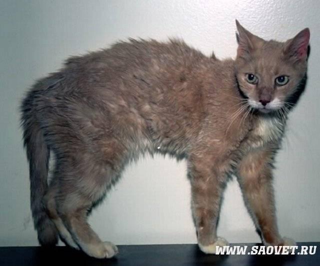 Гипертиреоз у кошек: причины, симптомы и лечение