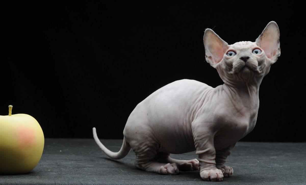 Бамбино - фото и описание породы кошек (характер, уход и кормление)