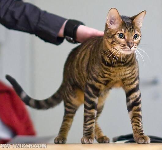 Тойгер кошка: подробное описание, фото, купить, видео, цена, содержание дома