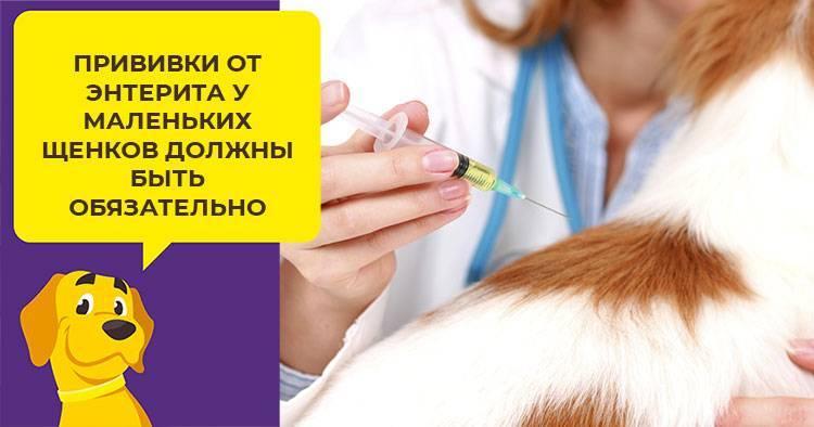 Парвовирусный энтерит у собак - симптомы, лечение, передается ли человеку, прогноз выживаемости