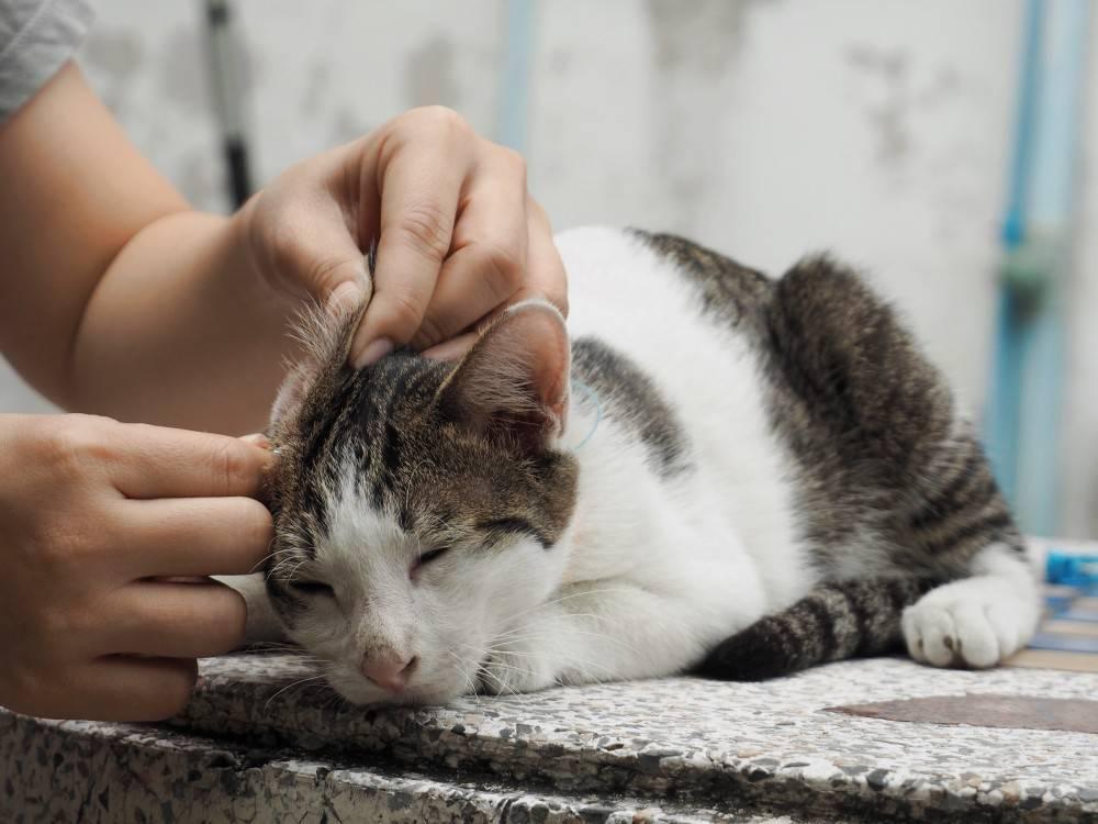 Как чистить уши котенку или взрослой кошке в домашних условиях. как чистить уши котенку? как чистить уши кошке: советы как чистить кошкам уши