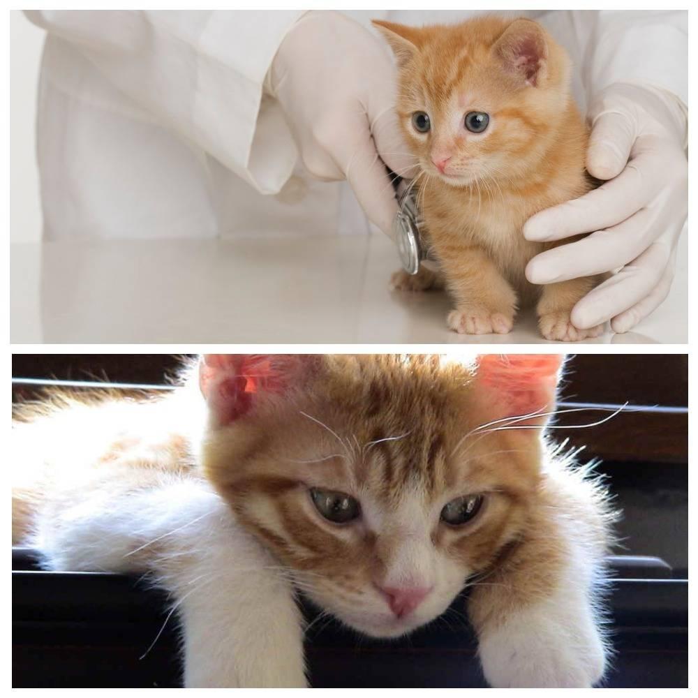 Обнаружен сахарный диабет у кошки — почему возник, как лечить и кормить животное