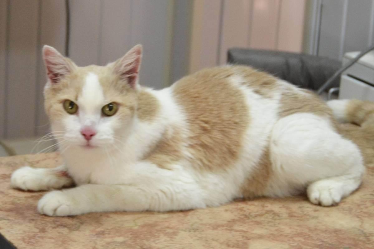 Гипертиреоз у кошек лечение