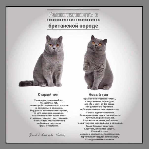 Как назвать британскую кошку – советы по выбору клички