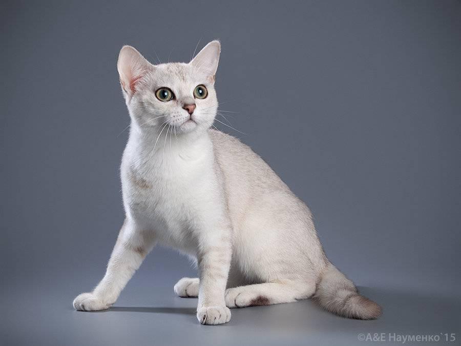 Бурмилла - 95 фото, внешние характеристики и особенности характера кошки
