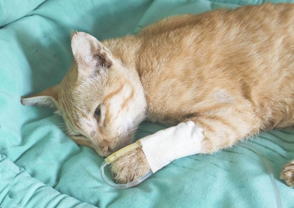Перитонит у кошек:  симптомы и лечение вирусного заболевания