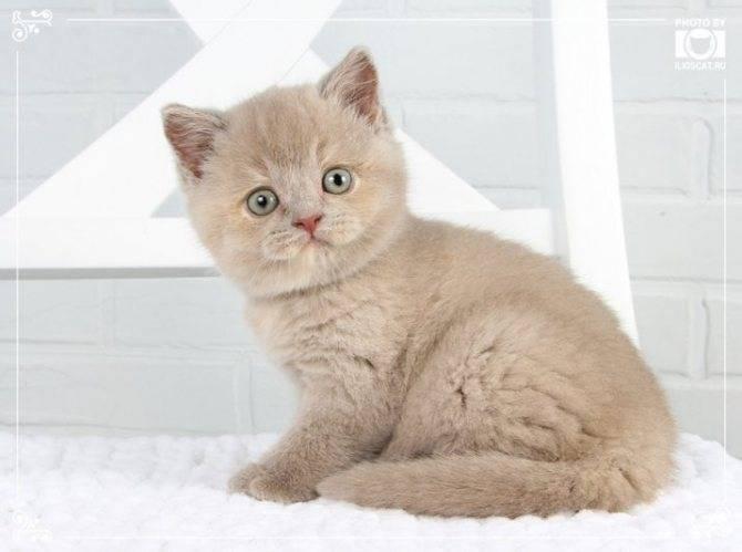 Как много стоит британский котенок с документами и без?