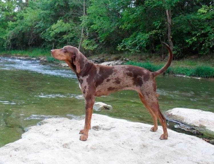 Гончие породы: описание и характеристики известных и признанных собак (+ фото)
