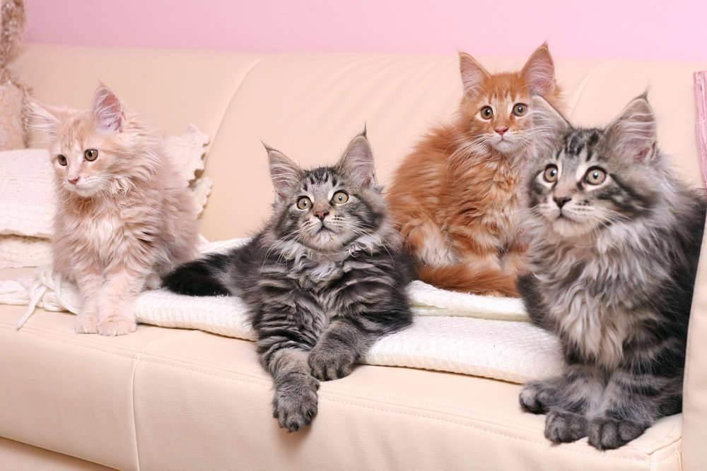 Особенности кошки породы мейнкун, характер, достоинства и недостатки