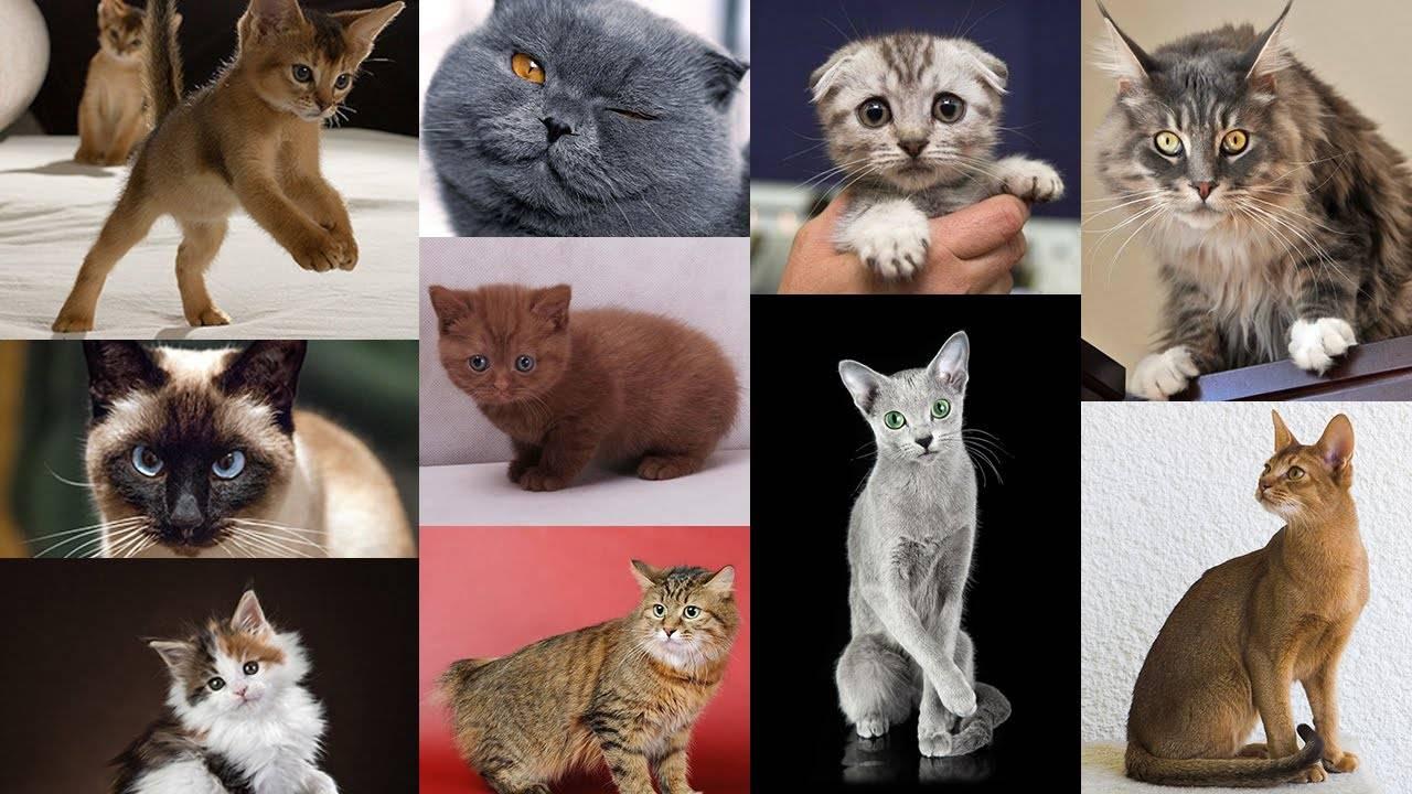 Коричневый кот: список пород шоколадного окраса