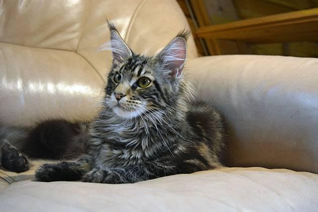 Фото и развитие котенка мейн-кун в 1-6 месяце